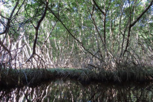 Mangroves are protected until the government decides to build a refinery.
