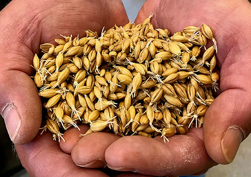 Sprouted barley grains.